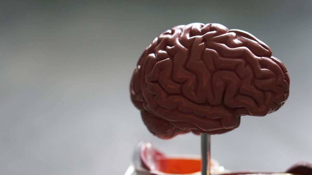 Psicologia Biologia Anatomia Cerebro
