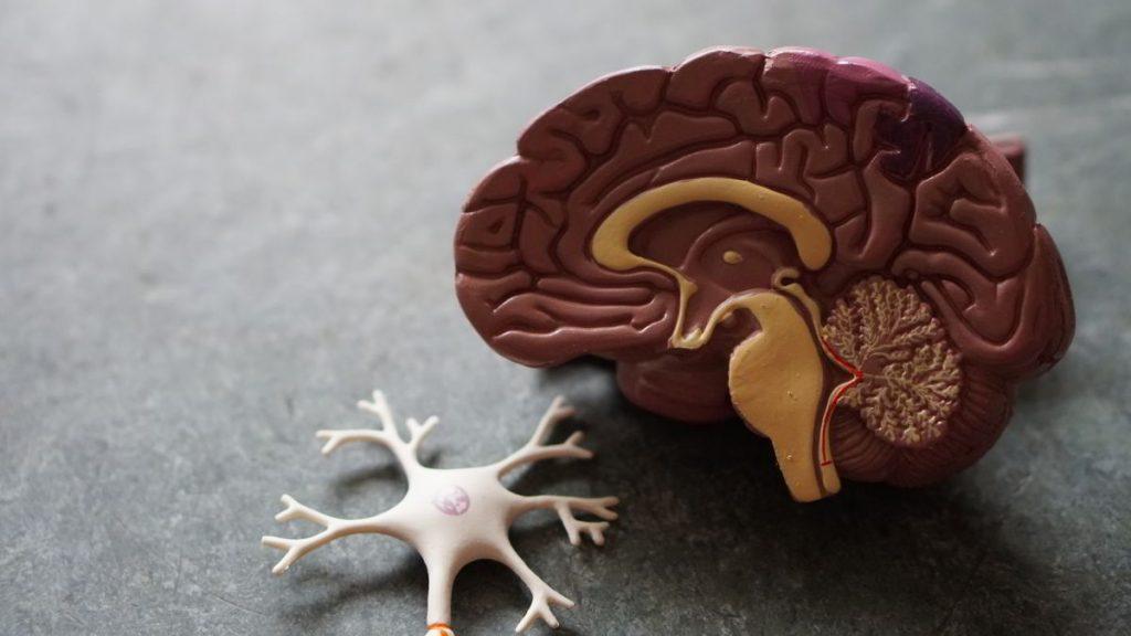 Neurona Cerebro Psicologia Ciencias Naturales Biologia