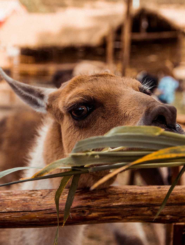Agronomia Llama Animal