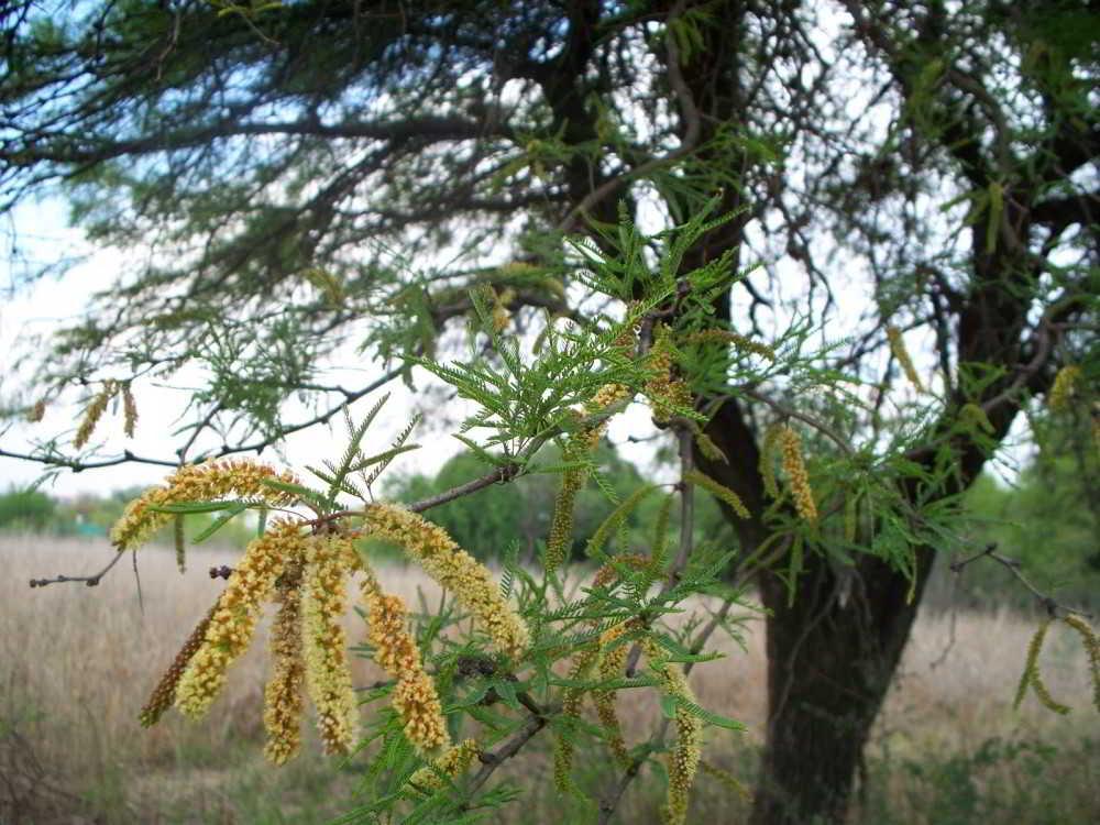 Algarrobo Flora Argentina Árbol