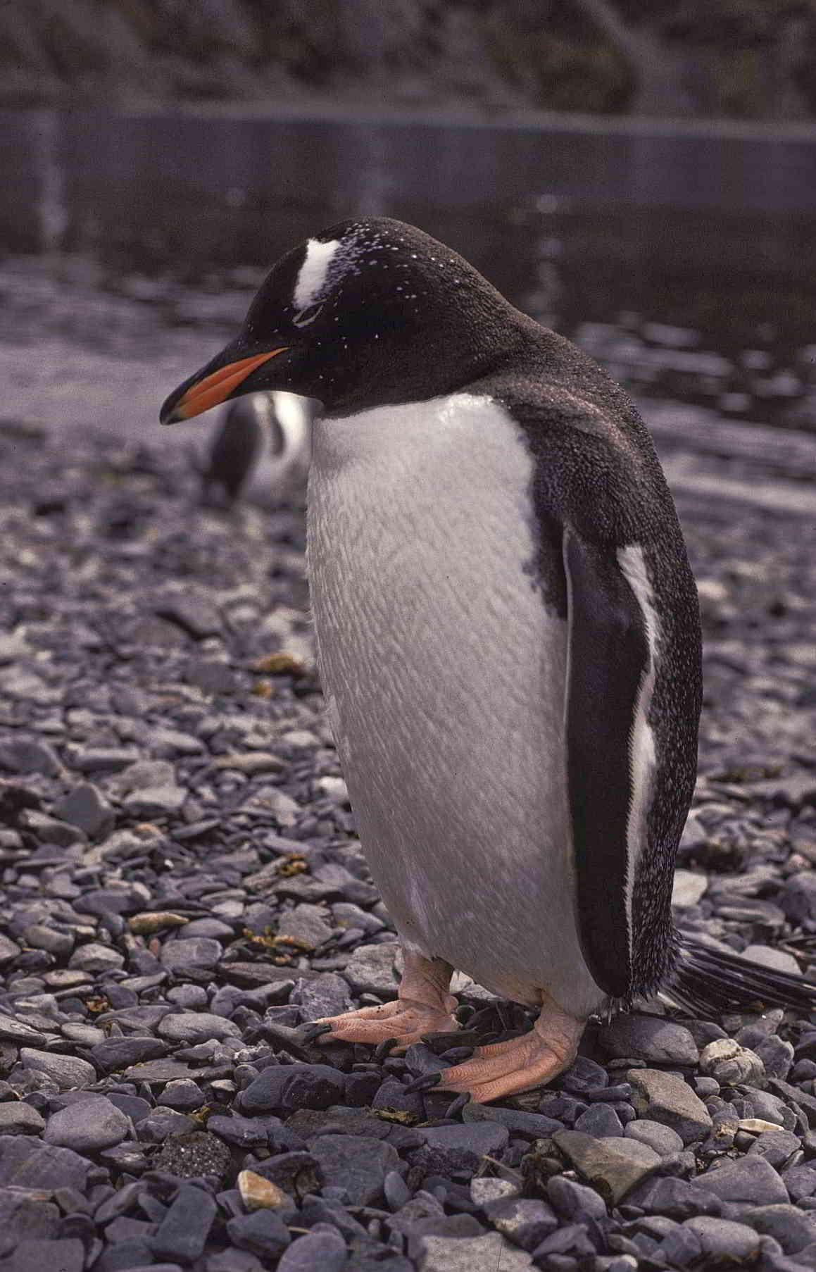 Pinguino Rojo Antartida Bioma