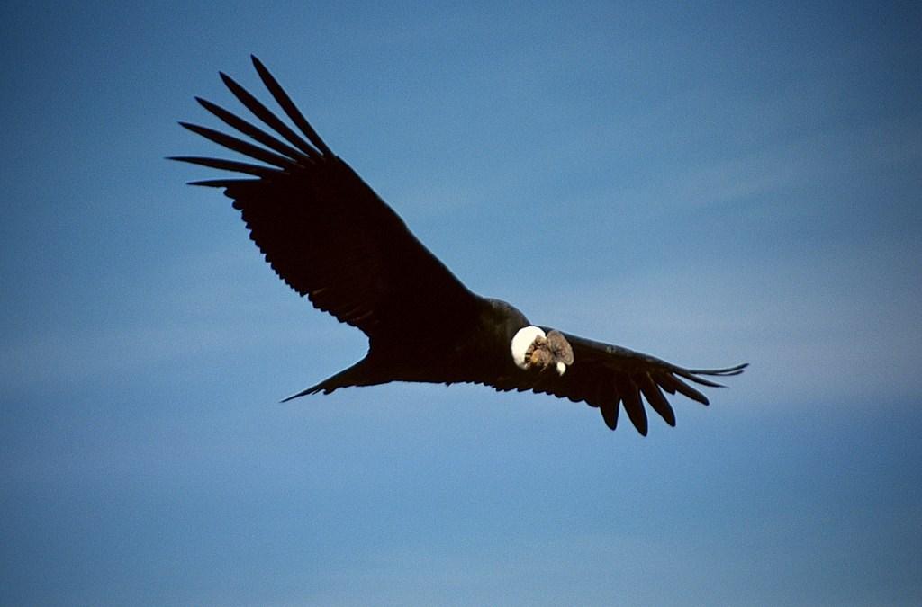 Vuelo Condor Quebrada del Condorito Cordoba Argentina