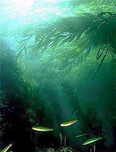 Un bosque californiano submarino de kelp.